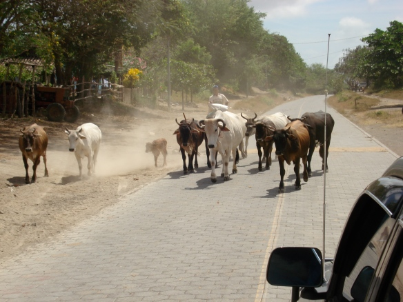 Cow Stampede - Ometepe