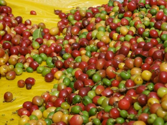 Coffee Beans (credit - Javier Baldovinos)